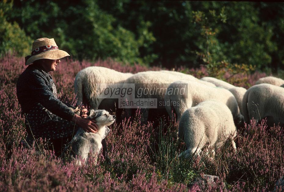 Europe/France/Limousin/19/Corrèze/Env de Meymac: Plateau de Millevaches - bergère et son troupeau de moutons dans la lande de bruyère en fleurs<br /> PHOTO D'ARCHIVES // ARCHIVAL IMAGES<br /> FRANCE 1980
