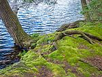 Mossy shoreline. Eagles Mere Lake, PA.