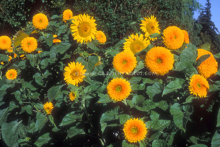 Sunflowers, typical plus Teddy Bear type, Helianthus annuus, mixture