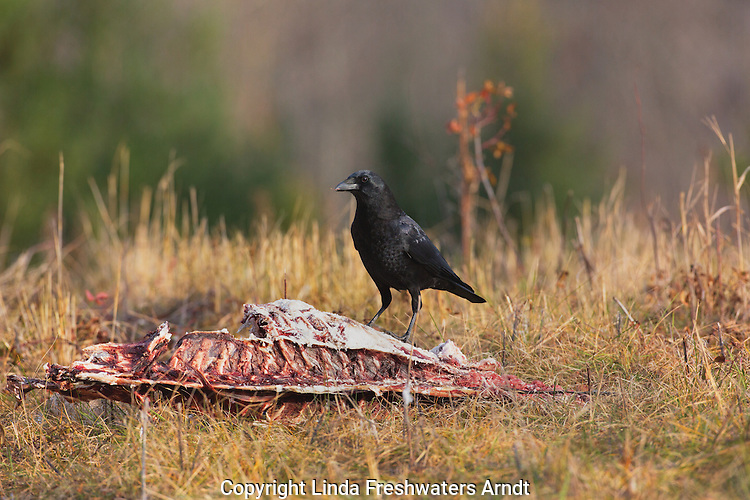 American crow feeding on a deer carcass