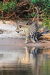 Male jaguar (Panthera onca) scent marking territory on a sand bank with reflection in the water. Cuiaba River, Northern Pantanal, Mato Grosso, Brazil.
