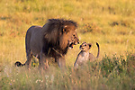 Lion cubs gets a telling off from parent after playing fighting by Craig Aitken