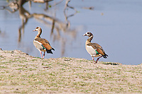 Egyptian Goose, South Luangwa NP, Zambia