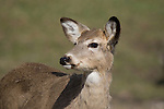 White-tailed deer - yearling