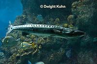 TP13-500z  Great Barracuda, Sphyraena barracuda