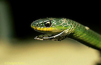 1R04-047a  Smooth Green Snake - molting skin - Opheodrys vernalis