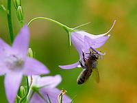 A bee with its head and thorax covered in pollen forages a spreading bellflower.<br /> Une abeille avec la tête et le thorax couverts de pollen butine une fleur de campanule des bois.