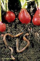 1Y01-085z  Earthworm - soil profile of worms burrowing beneath radishes