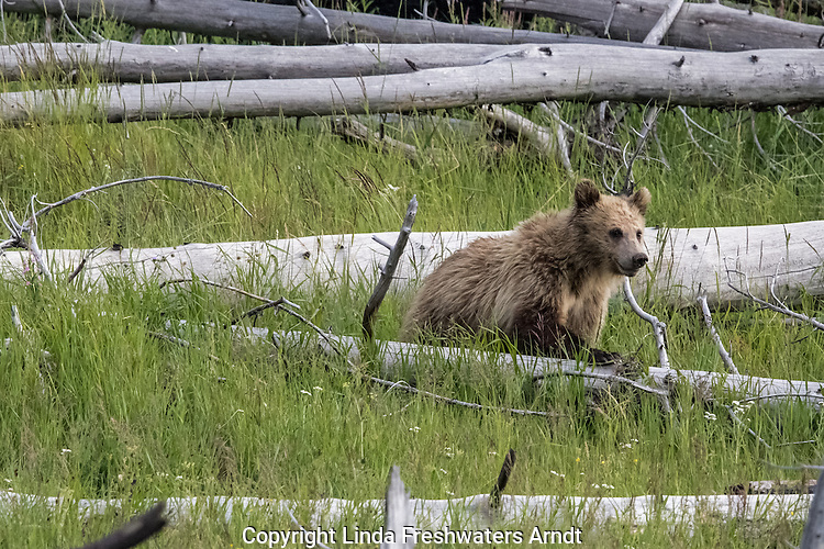 Young grizzly bear in Yellowstone National Park