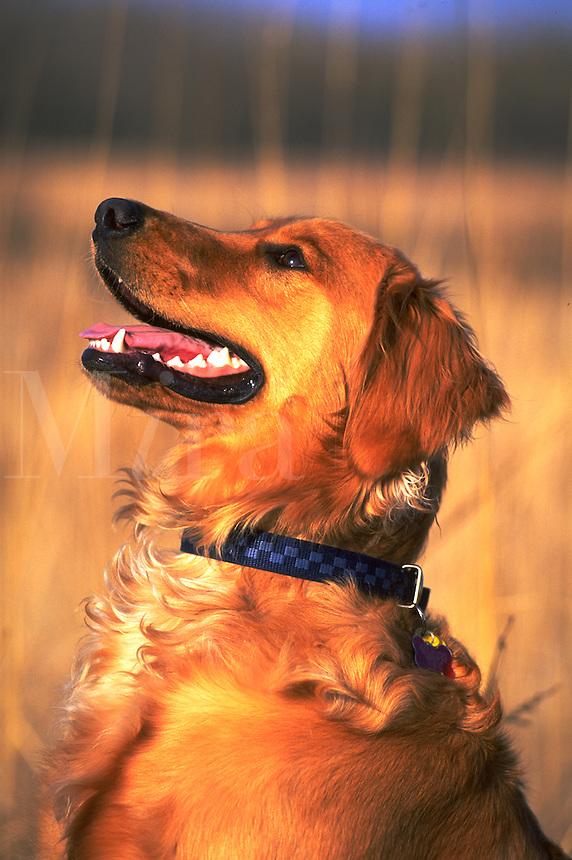 Profile portrait of a Golden Retriver dog.