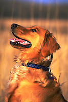 Profile portrait of a Golden Retriver dog.