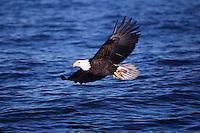 A Bald eagle (Haliaeetus leucocephalus) in flight over water.