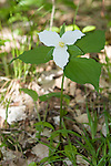 Large-flowered trillium (Trillium grandiflorum) in eastern hardwood forest, spring