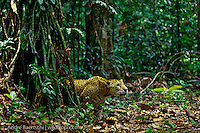 Jaguar (Panthera onca), in lowland tropical rainforest, Manu National Park, Peru.