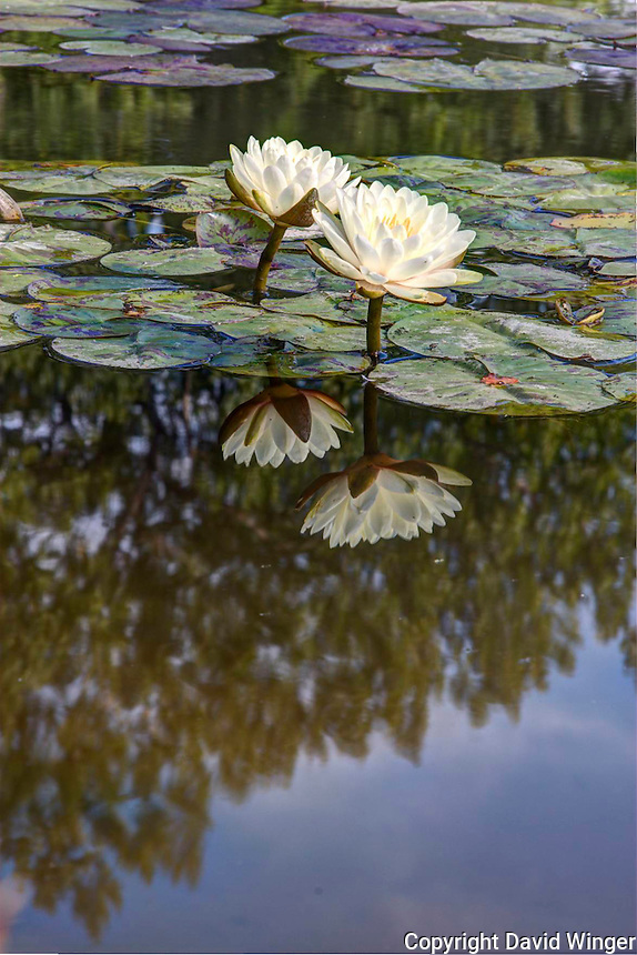 Gonnere Water Lily reflected in water