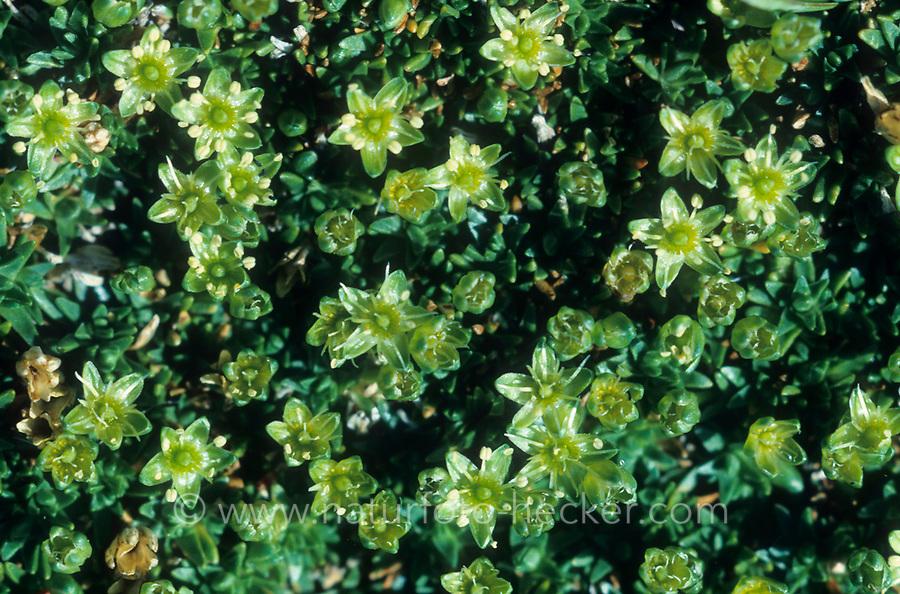 Zwerg-Miere, Zwergmiere, Minuartia sedoides, Cherleria sedoides