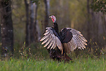 Eastern wild turkey in northern Wisconsin.