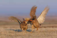 Two male Greater Prairie-Chickens battling on a lek. A dominant male on each lek typically performs more then 85% of copualtions with females. This results in a functional decrease in the genetic size of a population. Ft. Pierre National Grassland, South Dakota.