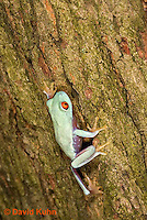 0306-0928  Red-eyed Tree Froglet (Young Frog) Climbing, Agalychnis callidryas  © David Kuhn/Dwight Kuhn Photography.
