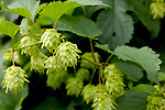 Europa, DEU, Deutschland, Rheinland-Pfalz, Hunsrueck, Hopfen (Humulus) , Natur, Umwelt, Pflanzen, Pflanzenkunde, Botanik, Biologie, Hopfen (Humulus) ist eine Pflanzengattung aus der Familie der Hanfgewaechse (Cannabaceae). Alle Hopfen-Arten kommen auf der Nordhalbkugel vor. Der bekannteste Vertreter der Gattung ist der Echte Hopfen, der zum Bierbrauen verwendet wird. - Quelle: https://de.wikipedia.org/wiki/Hopfen<br /> <br /> [Fuer die Nutzung gelten die jeweils gueltigen Allgemeinen Liefer-und Geschaeftsbedingungen. Nutzung nur gegen Verwendungsmeldung und Nachweis. Download der AGB unter http://www.image-box.com oder werden auf Anfrage zugesendet. Freigabe ist vorher erforderlich. Jede Nutzung des Fotos ist honorarpflichtig gemaess derzeit gueltiger MFM Liste - Kontakt, Uwe Schmid-Fotografie, Duisburg, Tel. (+49).2065.677997, ..archiv@image-box.com, www.image-box.com]