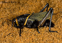 0913-0802  Adult Horse Lubber Grasshopper Depositing Eggs Underground - Taeniopoda eques © David Kuhn/Dwight Kuhn Photography.