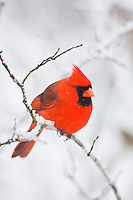 Northern Cardinal (Cardinalis cardinalis), male in snow, Raleigh, Wake County, North Carolina, USA