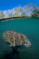 Florida manatee, Trichechus manatus latirostris, a subspecies of West Indian manatee, Trichechus manatus, half above and half below, Homosassa Springs, Florida, USA