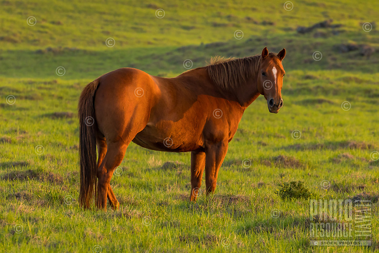 """A brown horse is cast in the """"golden hour"""" light of the time leading into sunset, Waimea, Big Island of Hawai'i."""