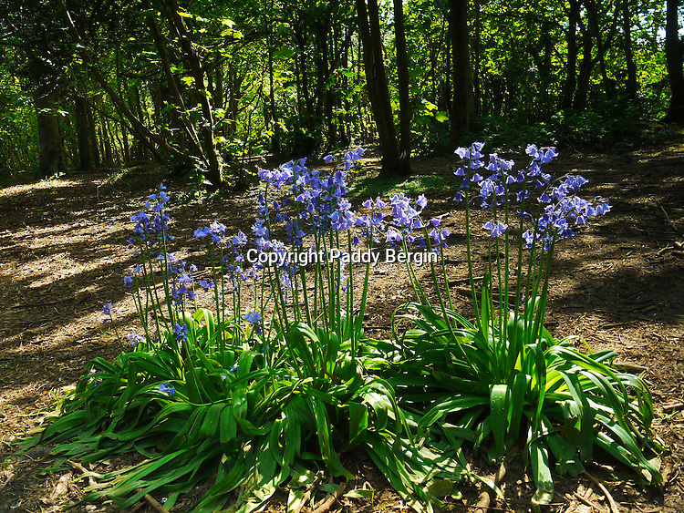 """Bluebells (Hyacinthoides non-scripta) are particularly associated with ancient woodland where it may dominate the under storey to produce carpets of violet–blue flowers in """"bluebell woods"""", but also occurs in more open habitats in western regions. It is protected under UK law, and in some other parts of its range.<br /> <br /> This photo was taken in Lancing Ring, West Sussex which is a local nature reserve within the South Downs National Park.<br /> <br /> Since 2005, The Ring has been managed by a partnership between Adur District Council and The Friends of Lancing Ring and has been an example of how Councils and Community groups can work together.<br /> <br /> This site is important for its chalk grassland, but also has other habitats such as a small woodland and a dewpond.<br /> <br /> The Friends of Lancing Ring have 'task days' at 10am on the 3rd Sunday morning of every month when people can become actively involved in the improvement and maintenance of the Ring.<br /> <br /> Anyone interested in getting involved please meet at the car park at the top of Mill Road in North Lancing because all help is appreciated.<br /> <br /> When I was a kid, 50 years ago, I grew up In Halewick Lane and the ring was part of our playground. Back then it was very wild and had lots of mature Beech Trees which were mostly wiped out in the 1987 """"Big Storm"""". We loved climbing those trees and making tunnels in the thick undergrowth and building camps. I live in London now but visit my Mother in Lancing so get to experience the changes that have been going on over the last few years. <br /> <br /> Stock Photo by Paddy Bergin."""