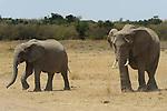 African Elephants (Loxodonta africana) on the Masai Mara National Reserve safari in southwestern Kenya.