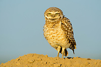 Burrowing Owl (Athene cunicularia). Adams County, Washington. May.