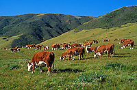 Hereford Cows and Calves Grazing by Hills