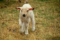 Baby Lamb, Ovis Aries,  walking in meadow, rural Switzerland