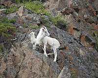 Dall Sheep mother and lamb standing on a rock cliff, Alaska.