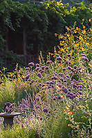 Perennial border with pollinator plants - Frey Garden. Mendocino, California. Verbena bonariensis, Japanese sunflower (annual), Catmint Nepeta 'Walker's Low', Sphaeralcea incana - a late summer group of bee-friendly flowers.