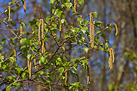 Hänge-Birke, Sand-Birke, Birke, Hängebirke, Blüte, Blüten, blühend, Blütenkätzchen, Betula pendula, European White Birch, Silver Birch