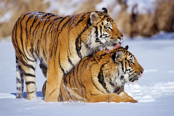 Siberian tigers (Panthera tigris altaica), Endangered Species