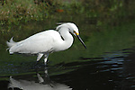 Common egret, Ardea alba. A large white heron, the Great Egret is found across much of the world, from southern Canada southward to Argentina, and in Europe, Africa, Asia, and Australia.