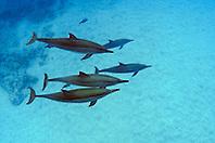 Hawaiian spinner dolphins, Stenella longirostris, Honomalino Bay, Milolii, Big Island, Hawaii, USA, Pacific Ocean