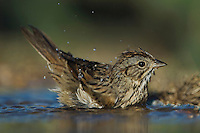 Lincoln's Sparrow, Melospiza lincolnii, adult bathing, Uvalde County, Hill Country, Texas, USA