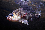 White Perch swimming left at surface