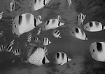 Schooling Pacific Double Saddled Butterflyfish, Chaetodon ulietensis and a Threadfin Butterflyfish, Chaetodon auriga, Rangiroa Atoll, Tuamotus, French Polynesia, Pacific Ocean