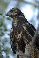Immature Swainson's Hawk seen on a tree branch below the nest, near Hinckley, Utah.