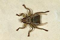 Schwalbenlausfliege, Schwalben-Lausfliege, Sichelflügel-Schwalbenlausfliege, Lausfliege, Stenepteryx hirudinis, Swallow louse fly, Swallow lousefly, Lausfliegen, Hippoboscidae, louse flies, louseflies, hippoboscid fly, hippoboscid flies, hippoboscidés