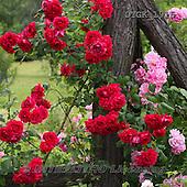 Gisela, FLOWERS, BLUMEN, FLORES, photos+++++,DTGK1915,#f#