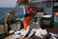 owner / captain of longline fishing boat loads finned porbeagle shark (Lamna nasus) carcasses into ice box Nova Scotia, Canada (North Atlantic Ocean)