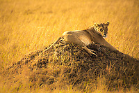 Beautiful female African lion resting on a knoll with blurred yellow savanna grass background in Masai Mara national park, Kenya