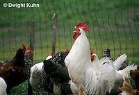 DG13-010z  Chicken - rooster crowing - White Leghorn