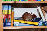Eichhörnchen, Europäisches Eichhörnchen, verwaistes Jungtier, Junges wurde von Hand aufgezogen, Wildtier-Aufzucht, klettert im Bücherregal, Sciurus vulgaris, European red squirrel, Eurasian red squirrel