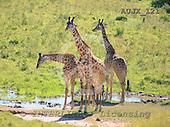 Dr. Xiong, ANIMALS, wildlife, photos, AUJX121,#a#